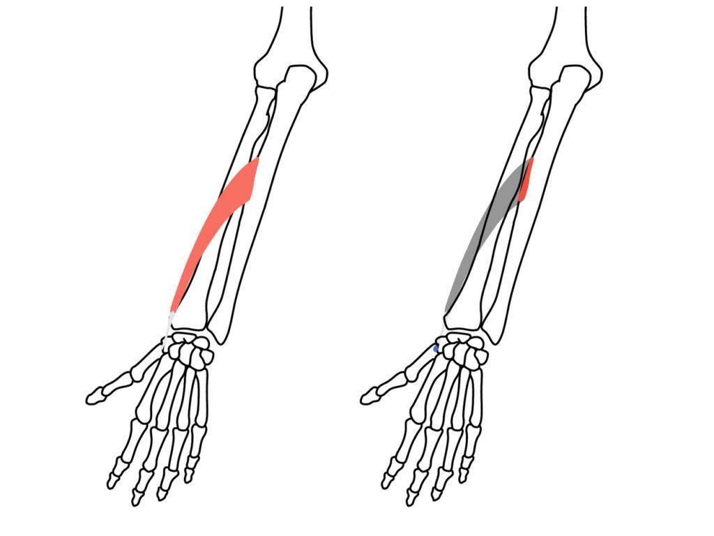 長母指外転筋の起始と停止