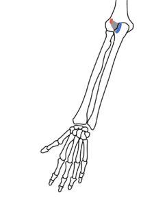 肘筋の起始・停止