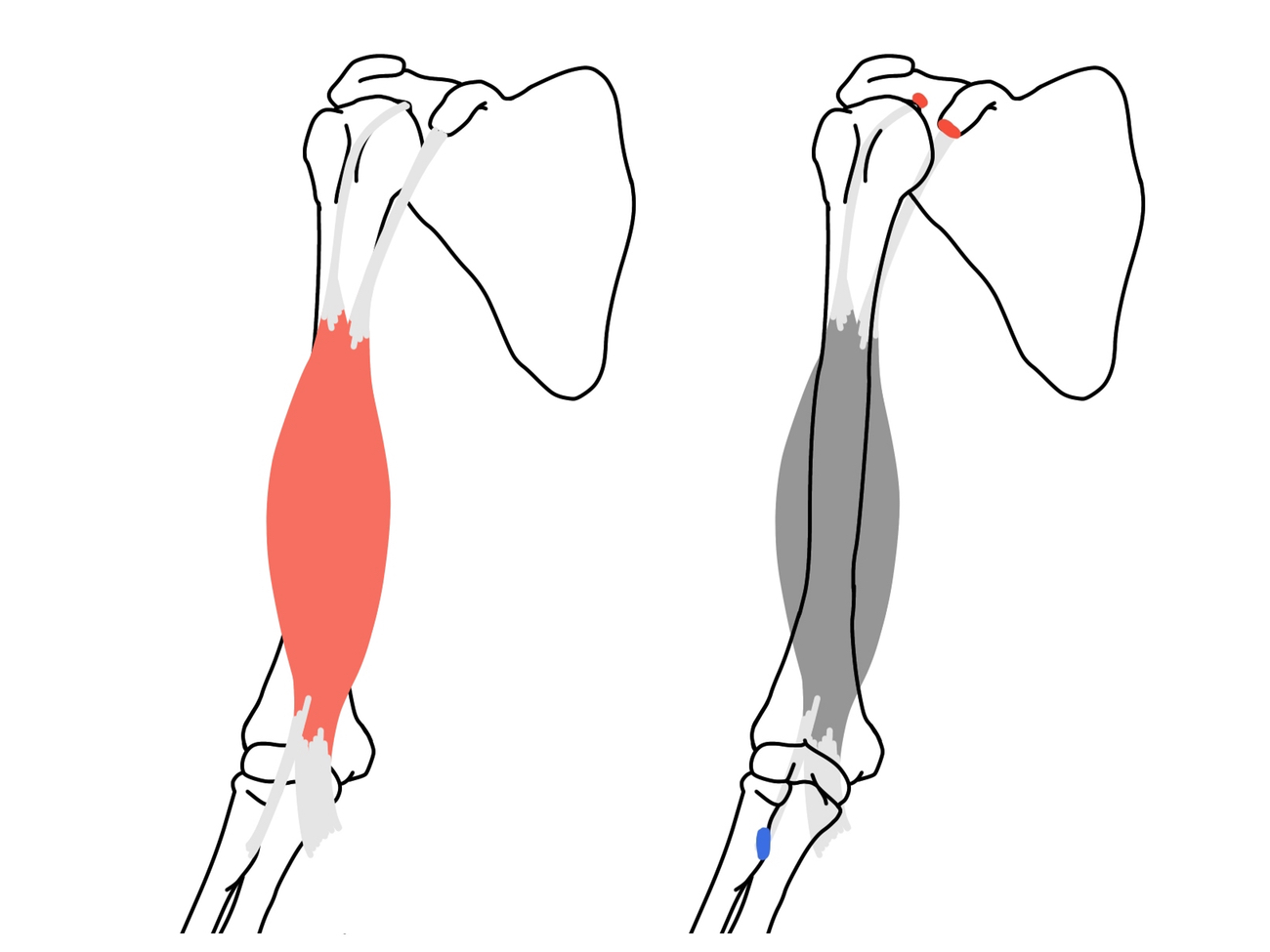 上肢の機能解剖学