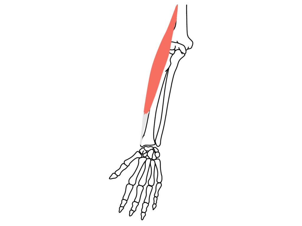 腕橈骨筋(わんとうこつきん)