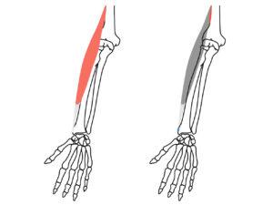 腕橈骨筋(わんとうこつきん)の起始と停止