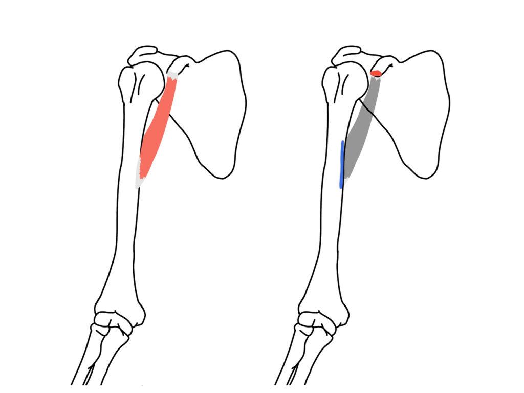 烏口腕筋(うこうわんきん)の起始と停止