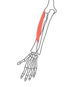 短橈側手根伸筋