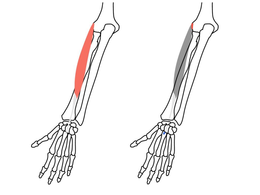 短橈側手根伸筋(たんとうそくしゅこんしんきん)の起始と停止