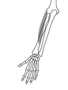 短橈側手根伸筋の起始と停止