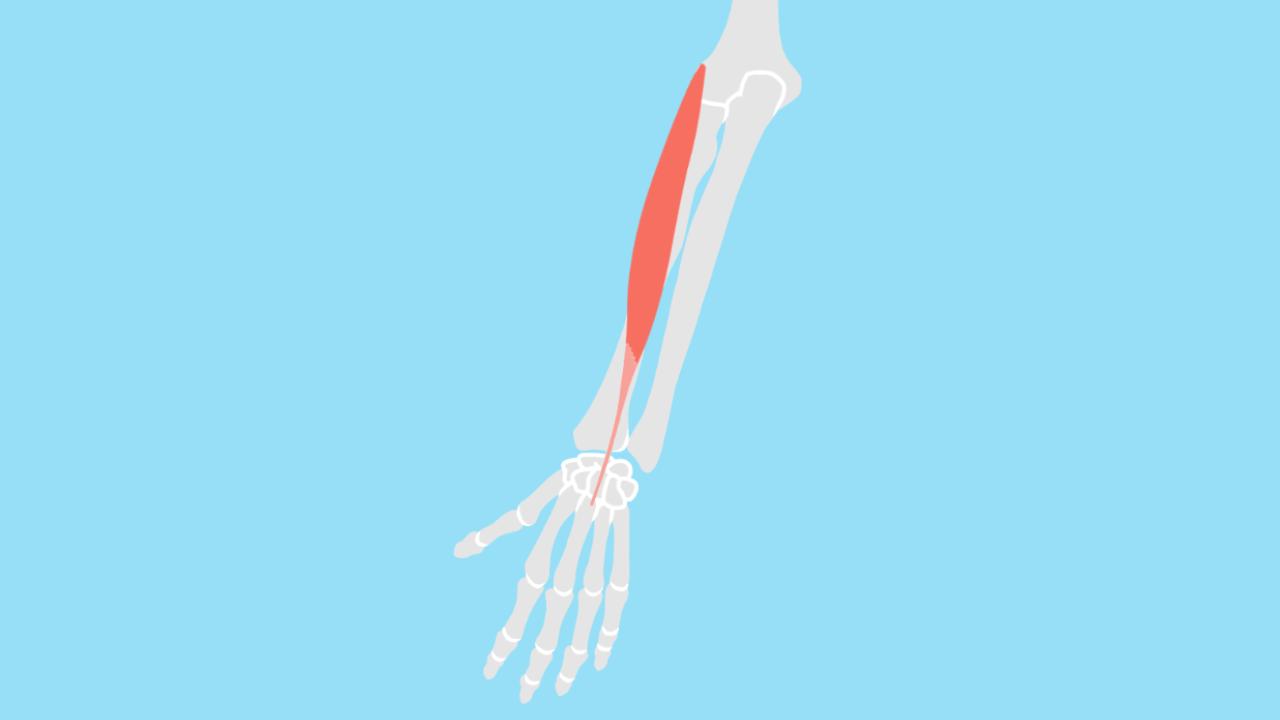 短橈側手根伸筋(たんとうそくしゅこんしんきん)
