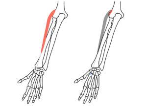 長橈側手根伸筋(ちょうとうそくしゅこんしんきん)の起始と停止