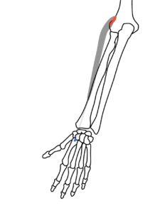 長橈側手根伸筋の起始と停止