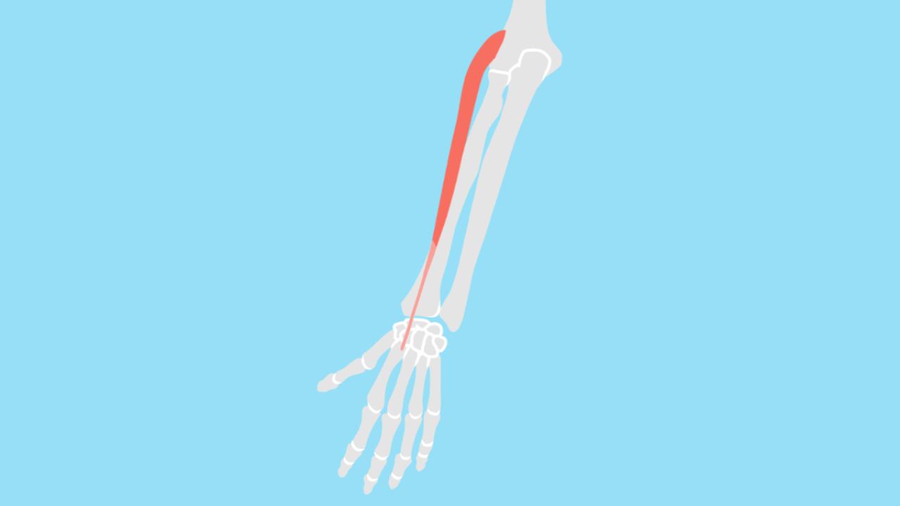 長橈側手根伸筋(ちょうとうそくしゅこんしんきん)