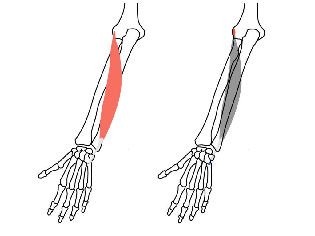 尺側手根伸筋(しゃくそくしゅこんしんきん)の起始と停止