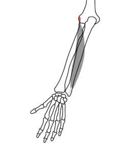 尺側手根伸筋の起始と停止