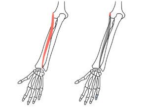 小指伸筋(しょうししんきん)の起始と停止
