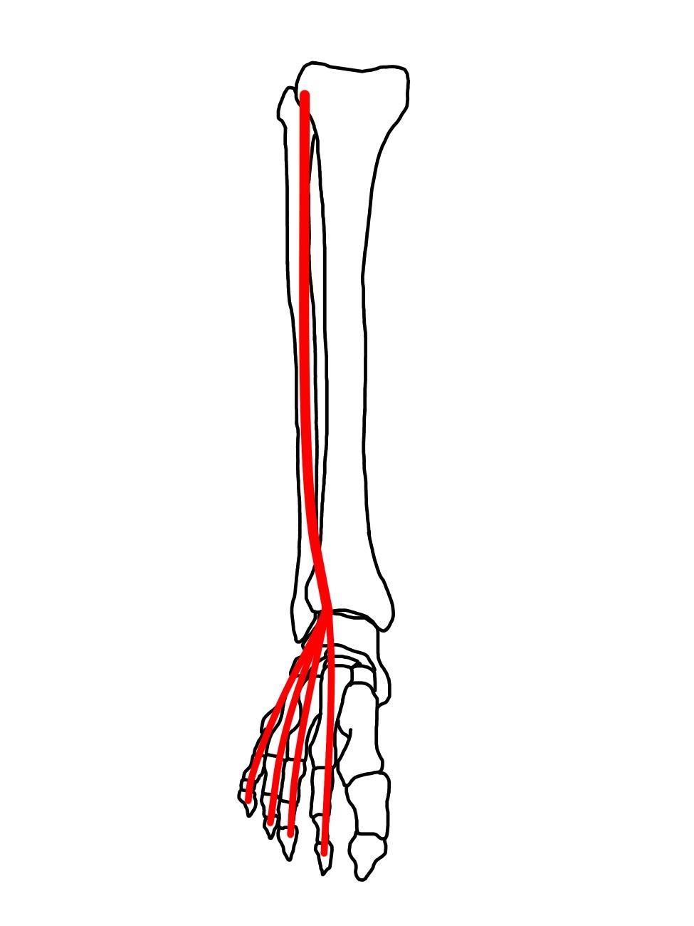 長趾伸筋の筋肉の走行のイメージ