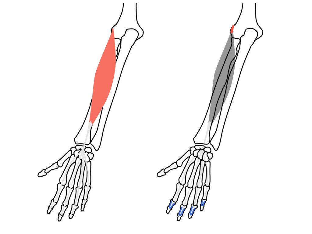 総指伸筋(そうししんきん)の起始と停止