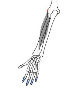 総指伸筋の起始と停止