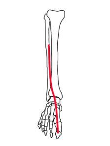 長母趾伸筋の筋肉の走行のイメージ