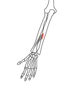 示指伸筋の起始と停止