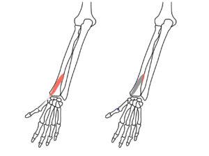 短母指伸筋(たんぼししんきん)の起始と停止
