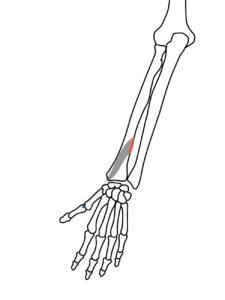 短母指伸筋の起始と停止
