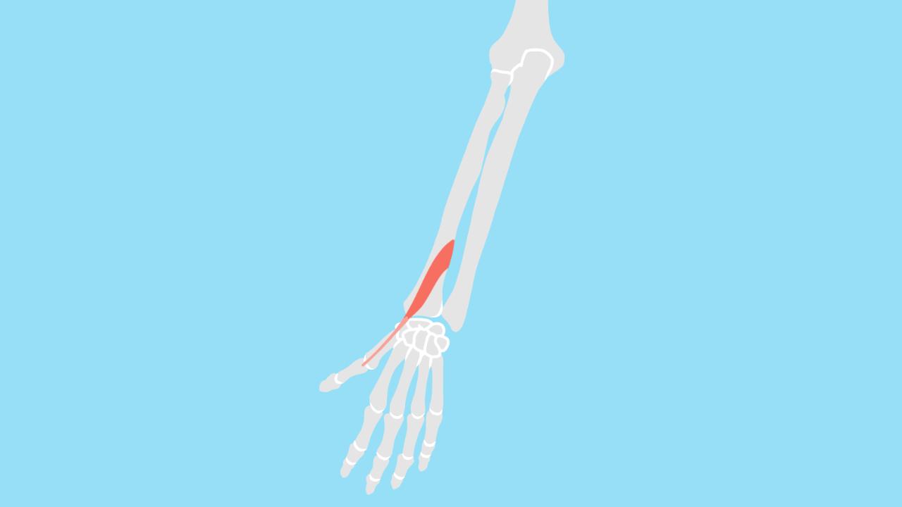 短母指伸筋(たんぼししんきん)