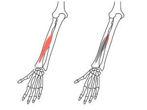長母指伸筋の起始と停止
