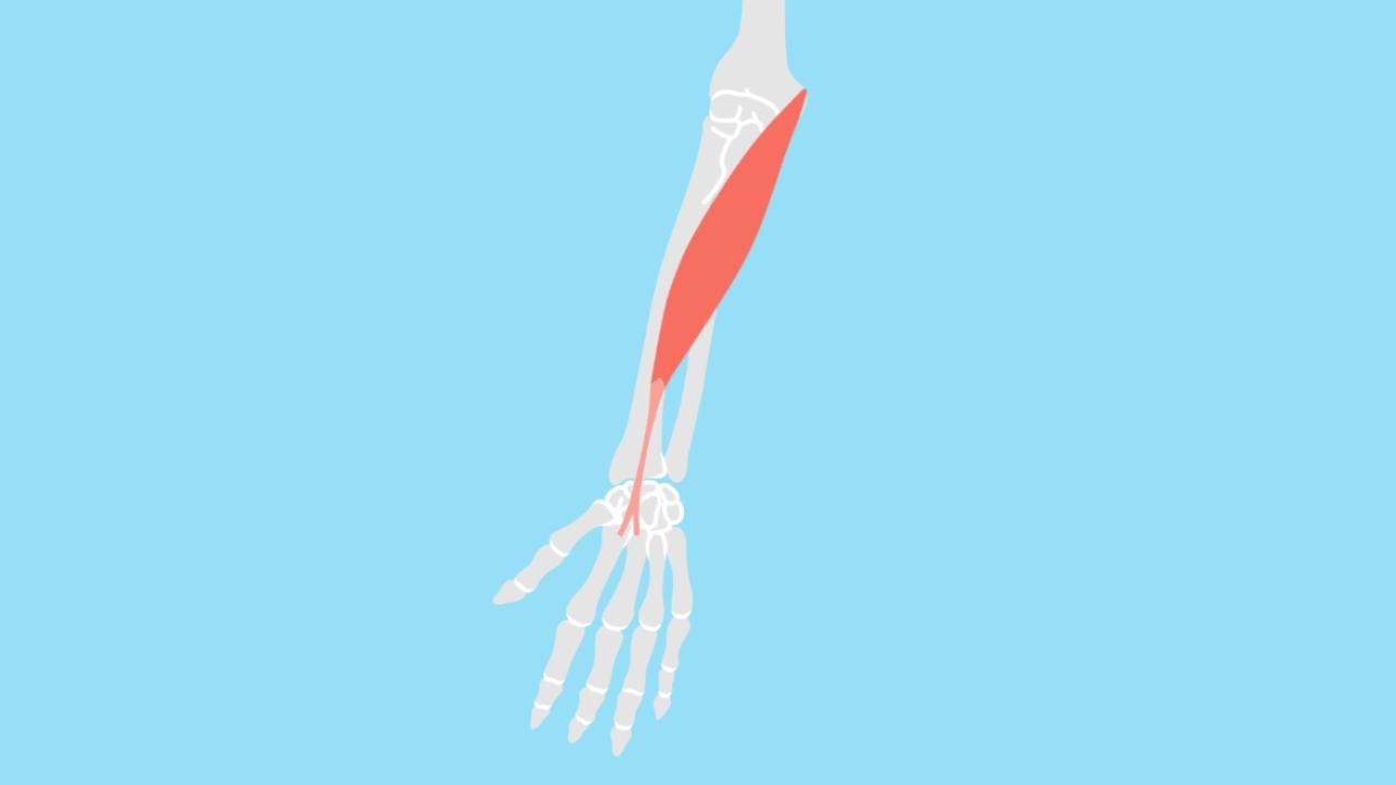 橈側手根屈筋(とうそくしゅこんくっきん)