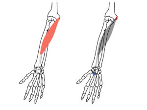 橈側手根屈筋の起始と停止