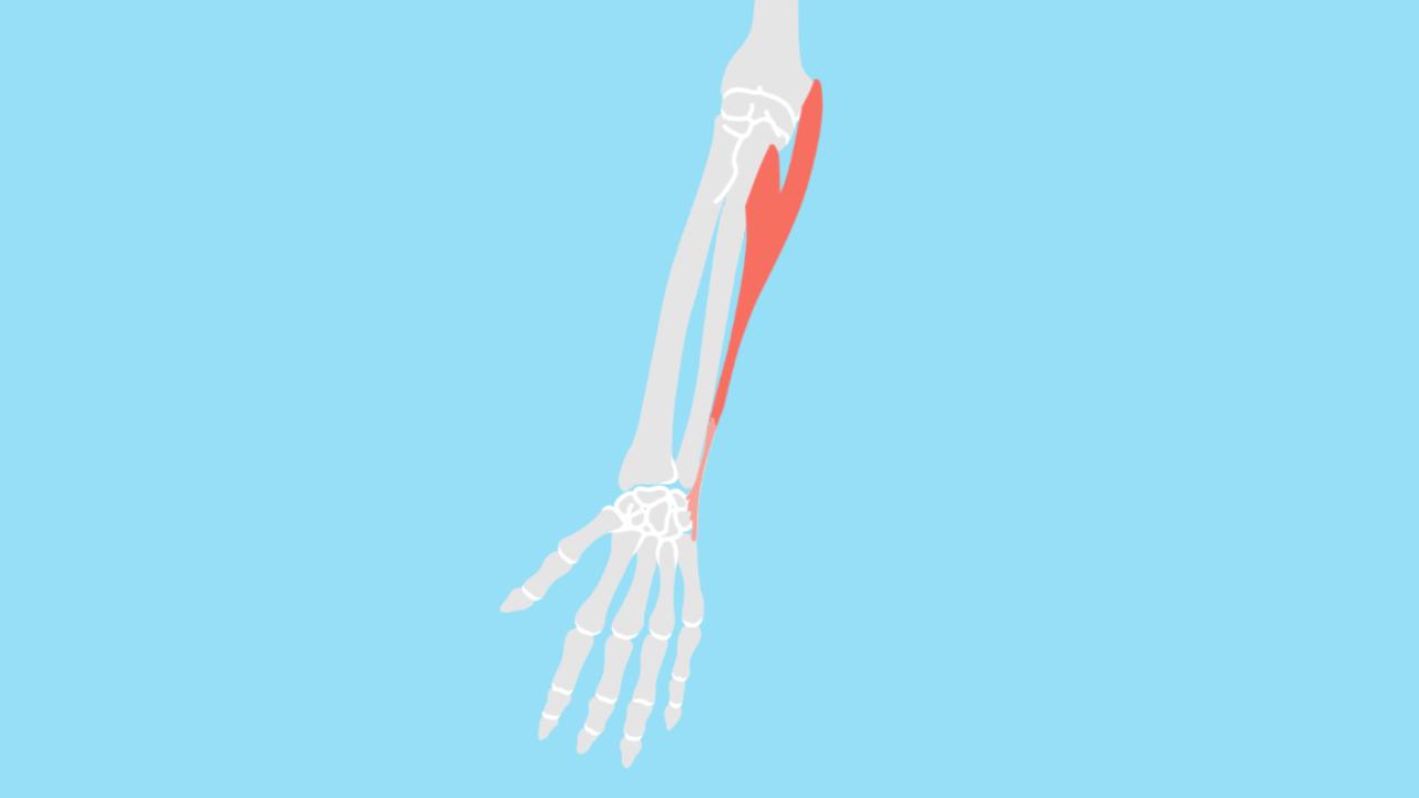 尺側手根屈筋(しゃくそくしゅこんくっきん)
