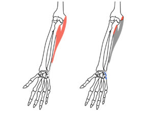尺側手根屈筋の起始と停止