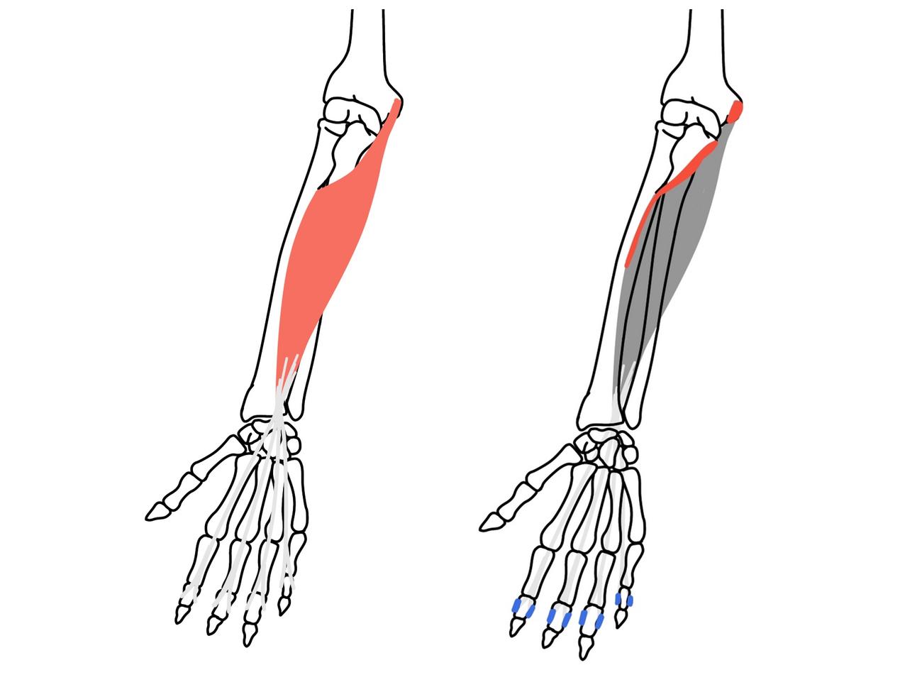 手首(前腕)前面の筋肉