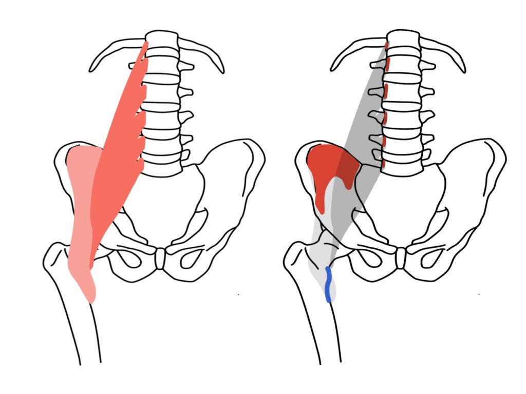 腸腰筋(ちょうようきん)の起始・停止