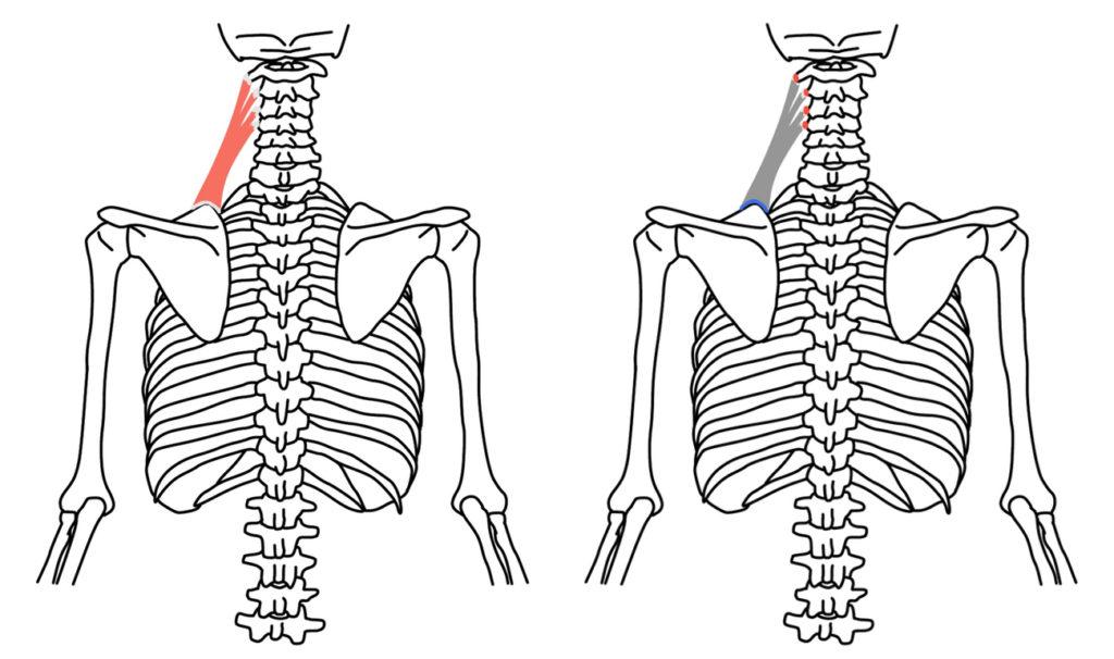 肩甲挙筋(けんこうきょきん)の起始・停止