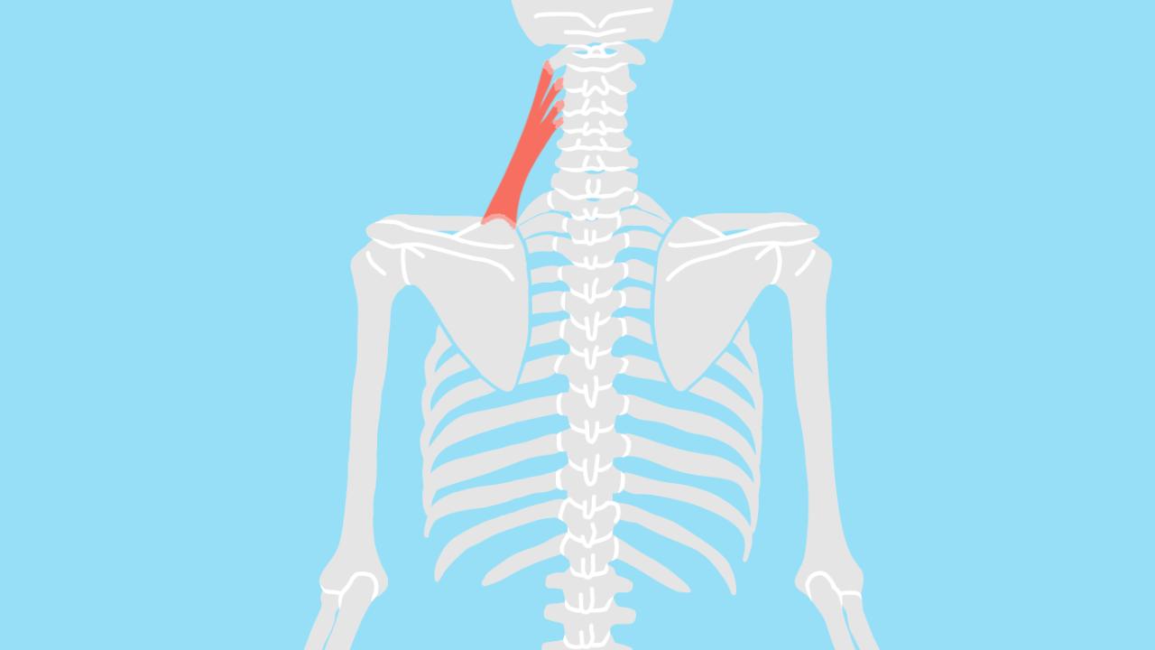 肩甲挙筋(けんこうきょきん)