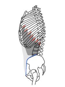 外腹斜筋の起始と停止