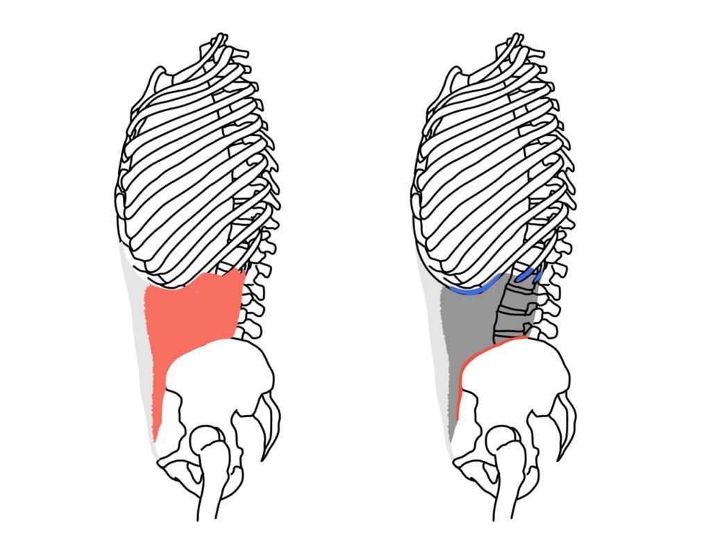 内腹斜筋の起始と停止