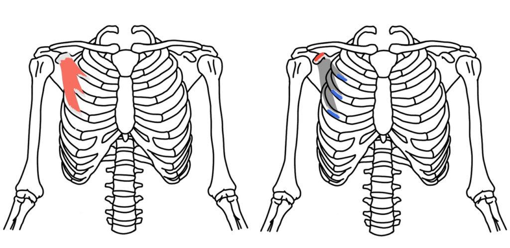 小胸筋(しょうきょうきん)の起始・停止