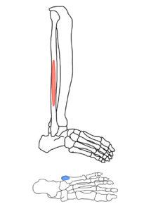 短腓骨筋の起始と停止