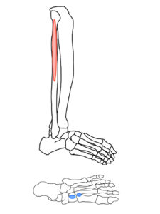 長腓骨筋の起始と停止