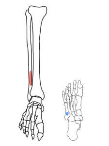 第3腓骨筋の起始・停止