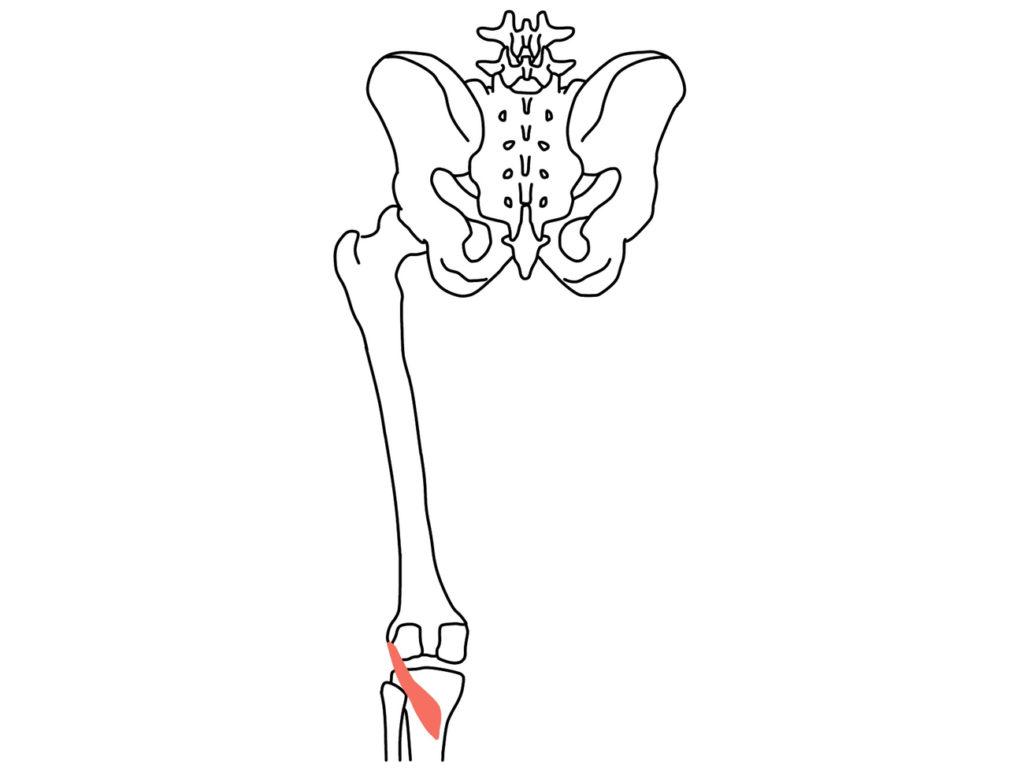 膝窩筋(しつかきん)