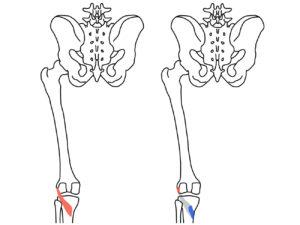 膝窩筋(しつかきん)の起始と停止