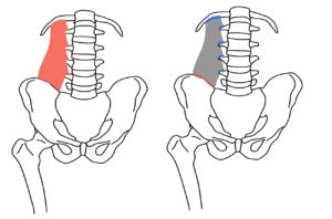腰方形筋の起始と停止