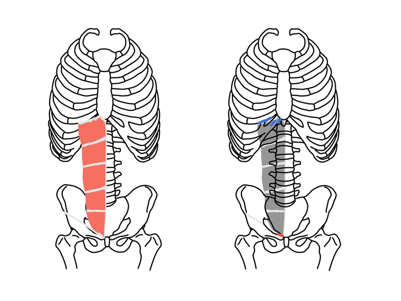 骨盤帯・肩甲帯・体幹の機能解剖学