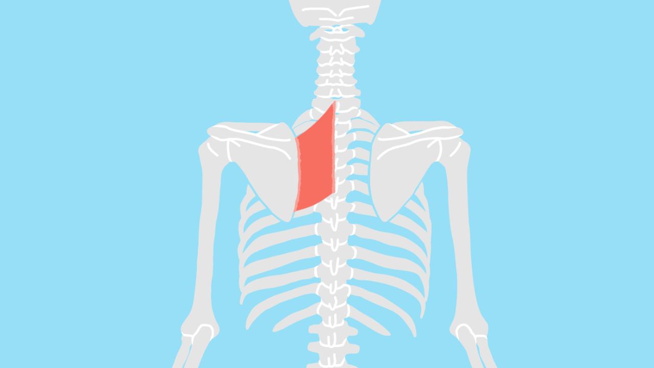 菱形筋(りょうけいきん)の起始・停止