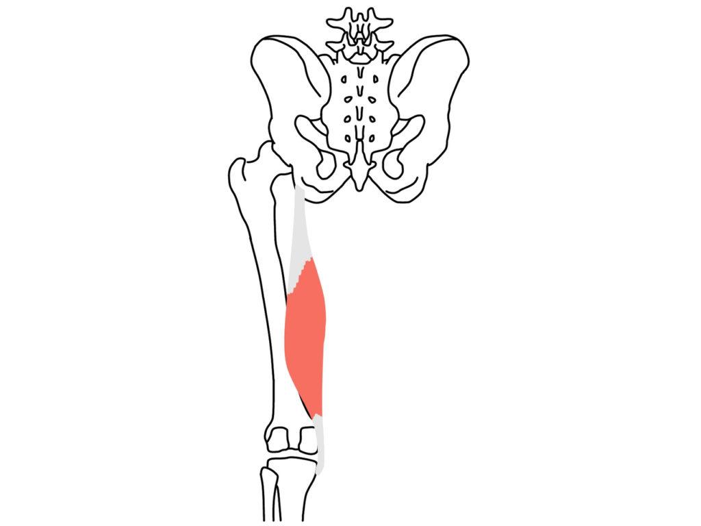 半膜様筋(はんまくようきん)