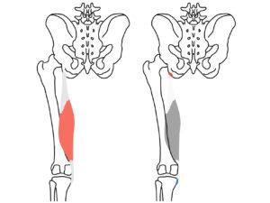 半膜様筋(はんまくようきん)の起始と停止