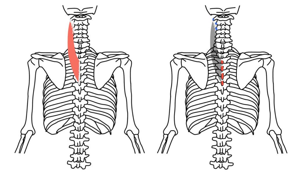 頚板状筋の起始と停止