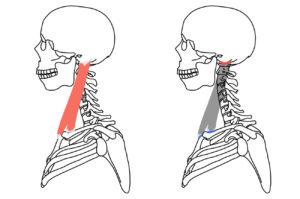 胸鎖乳突筋(きょうさにゅうとつきん)の起始・停止