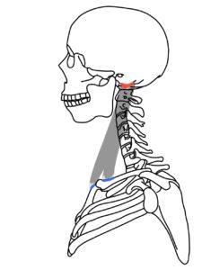 胸鎖乳突筋の起始と停止