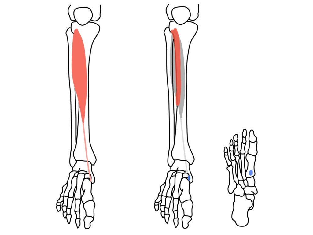 前脛骨筋(ぜんけいこつきん)の起始と停止